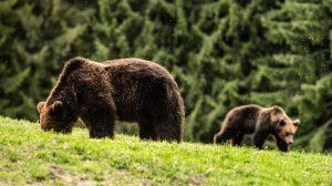agydaganat bakács tibor erdély medve medveles medvepásztor szin jános
