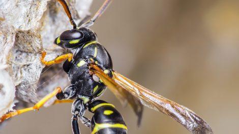 bata kata darázs darázsinvázió darázsirtó fészek építés fullánk hibernált állapot méhész szmutkó attila zümmögő fenevad