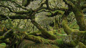 berkenye bükkfa diófa druidák ezotéria fügefa gesztenyefa gyertyánfa juharfa kelta fahoroszkóp kőrisfa nyírfa olajfa tölgyfa ványik dóra