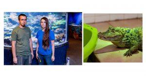130 centiméter hosszú állatgondozó chip-leolvasó debreczeni csilla gyűjteményvezető hőmérséklet hüllő kajmán karanténszoba krokodilfélék padlófűtés pápaszemes kajmán páratartalom ragadozó természetkárosítás török jános
