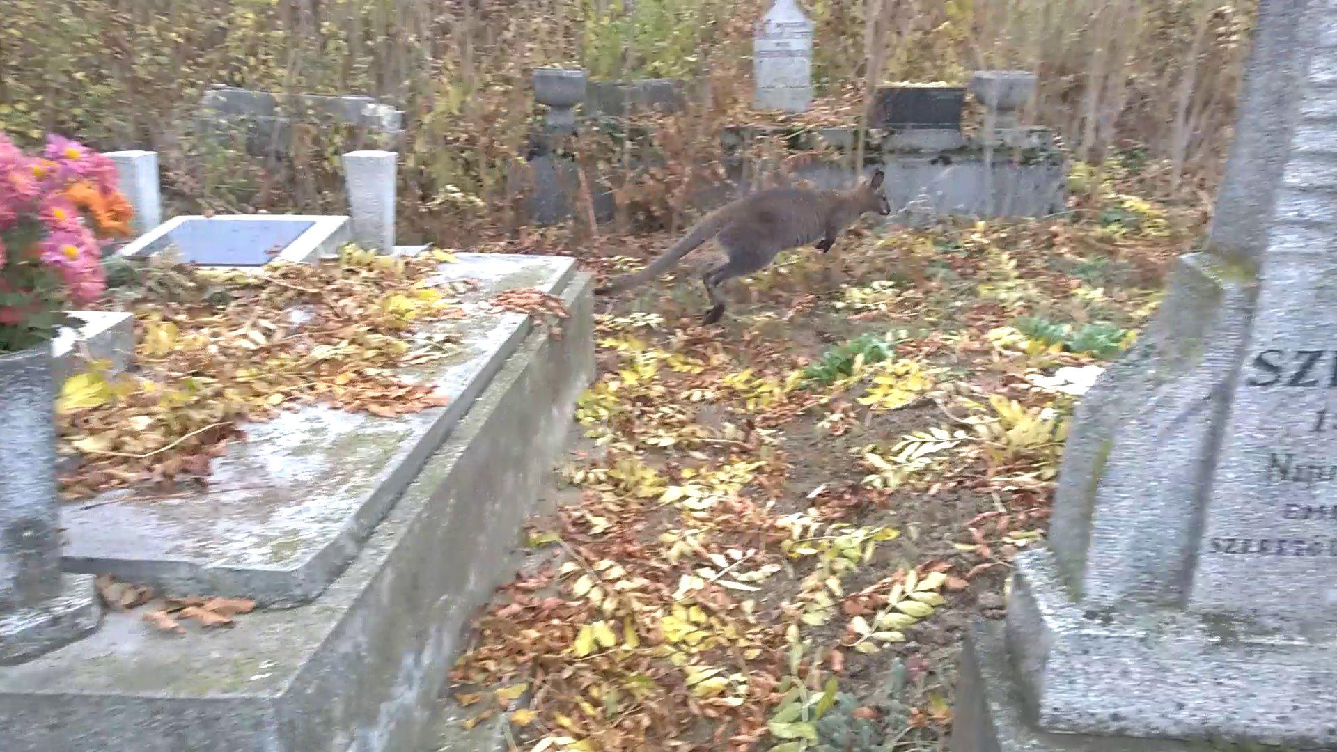 állatmentő szolgálat alapítvány önkéntese állatszeretők bartos gyula bennett-kenguru civil állatmentő szervezet debreczeni csilla katolikus temető kenguru lampek józsef némedi edina sírkert különleges lakója smányi tímea temető