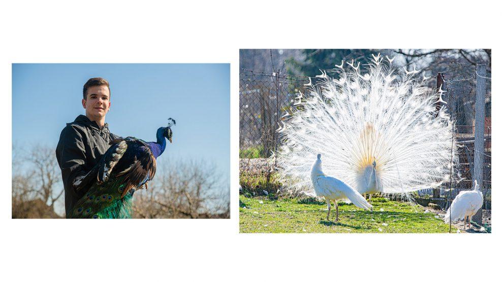 debreczeni csilla díszmadár durkó család nemzeti madár páva pávakakas