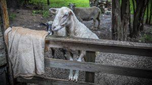 állatorvos b. molnár márk bárányok birka családtagok dugólétra ferenczi család kút mentőakció mentőkötél tatabányai tűzoltók tűzoltózászlós ughy ákos zizi zuzu